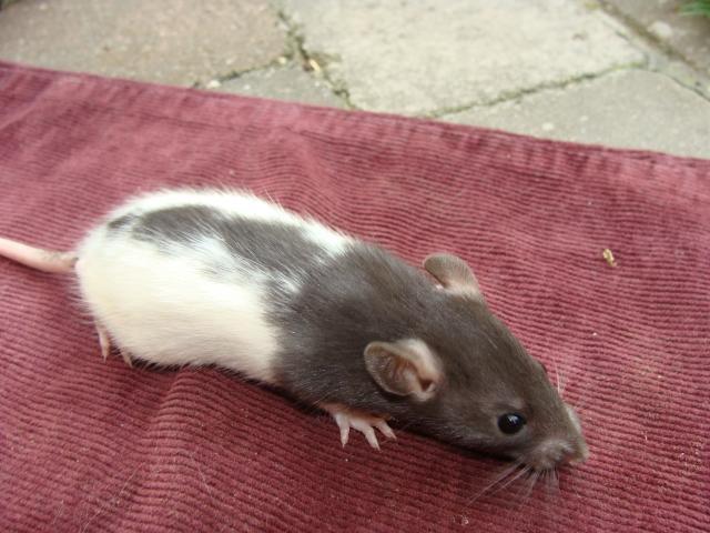 [Belgique-Morialmé]18 rats de sauvetage à adopter 337486DSC02859
