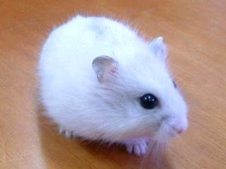 Hamster russe 344114Capture2