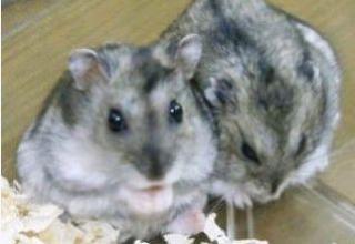 Hamster russe 389684Capture10