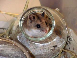 Hamster russe 3941973