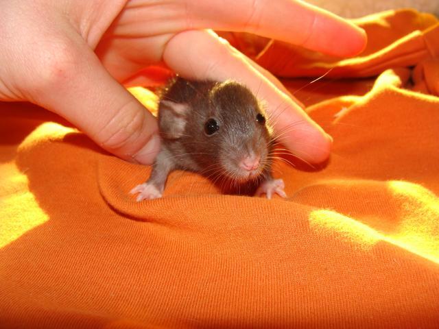 [Belgique-Morialmé]18 rats de sauvetage à adopter - Page 2 406146DSC03087