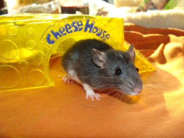 [Belgique-Morialmé]18 rats de sauvetage à adopter - Page 2 413650DSC03041