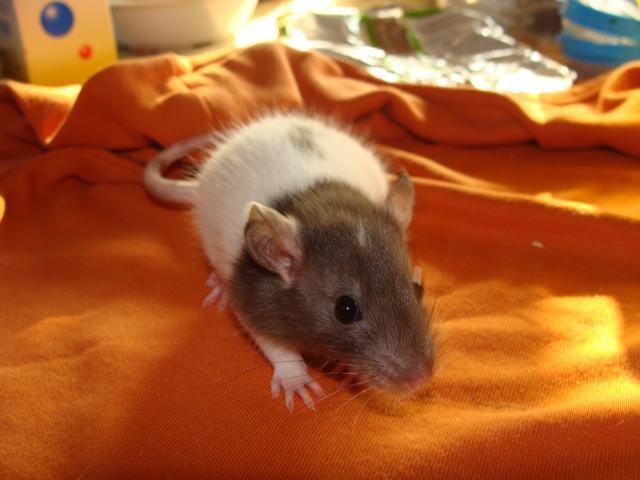 [Belgique-Morialmé]18 rats de sauvetage à adopter - Page 2 413719DSC03032