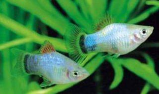 Xiphophorus maculatus 4264831a