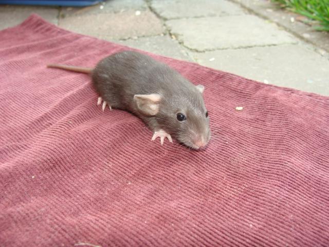 [Belgique-Morialmé]18 rats de sauvetage à adopter 430944DSC02830