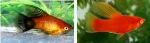 Xiphophorus maculatus 4309846