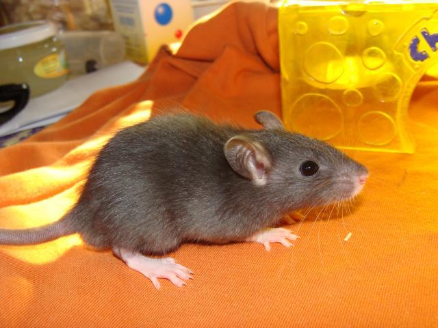 [Belgique-Morialmé]18 rats de sauvetage à adopter - Page 2 504747DSC03064