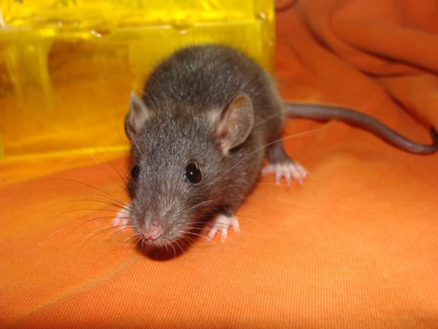 [Belgique-Morialmé]18 rats de sauvetage à adopter - Page 2 520126DSC02999