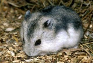 Hamster russe 5322996