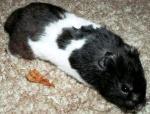 Hamster doré 583318panda