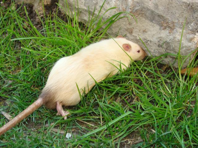 [Belgique-Morialmé]18 rats de sauvetage à adopter 609304DSC02759