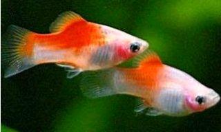 Xiphophorus maculatus 6255071
