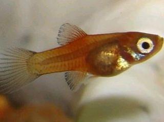 Xiphophorus maculatus 6981941