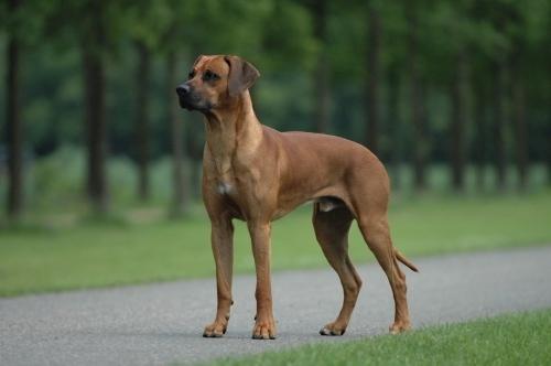 Votre race de chien préférée? 749164Rodhesian_Ridgeback