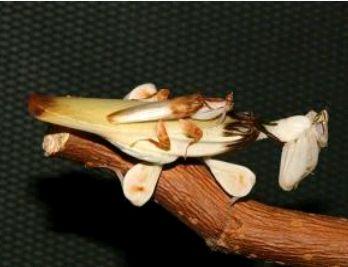 Hymenopus coronatus 779371Capture01