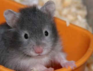 Hamster doré 82365027_jours