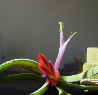 Floraison de tillandsia caput medusae 830744DSC08985bis