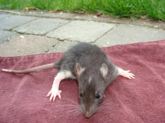 [Belgique-Morialmé]18 rats de sauvetage à adopter 838548DSC02820
