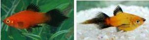 Xiphophorus maculatus 847207
