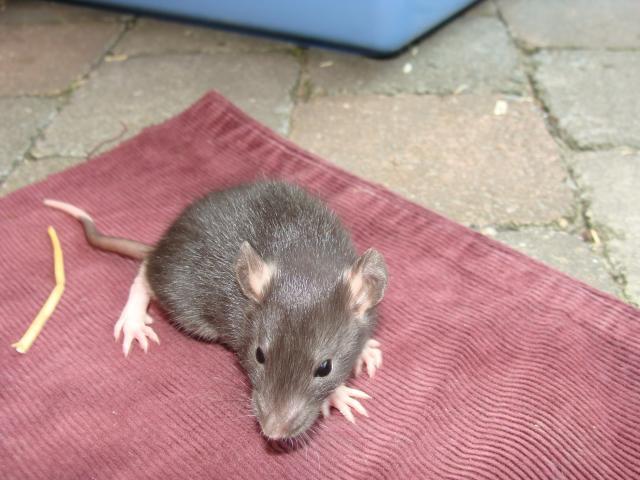 [Belgique-Morialmé]18 rats de sauvetage à adopter 85986DSC02838