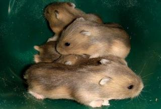 Hamster russe 8840516
