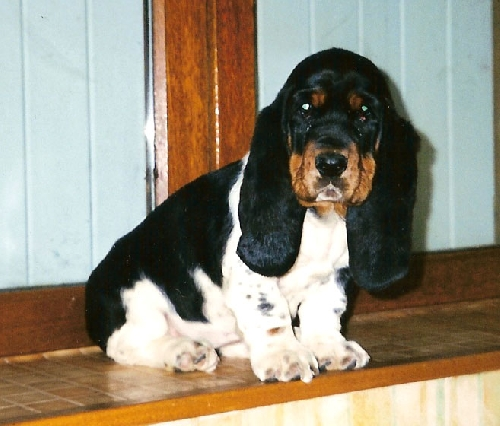 Basset Hound 888377normal_1169149199