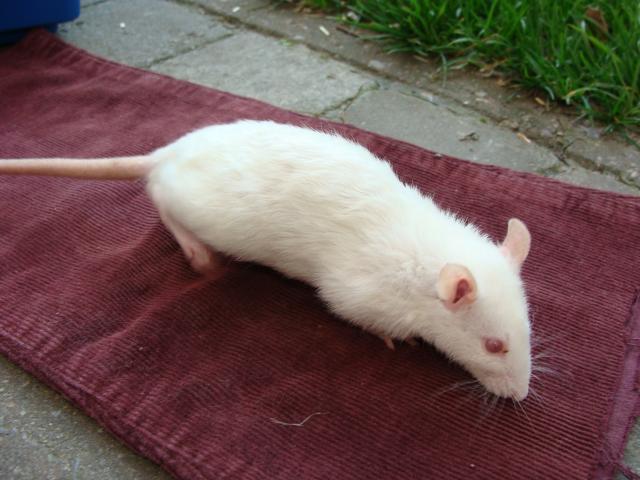 [Belgique-Morialmé]18 rats de sauvetage à adopter 89633DSC02768