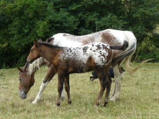 visite élevage appaloosa 904036van_arizona_rock_star_1