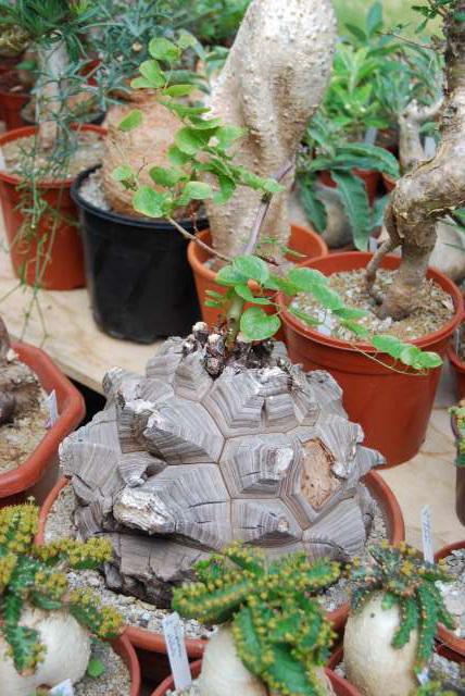 alba la romaine 2009 expo cactus et plantes rares 929571DSC_0017_PhotoRedukto