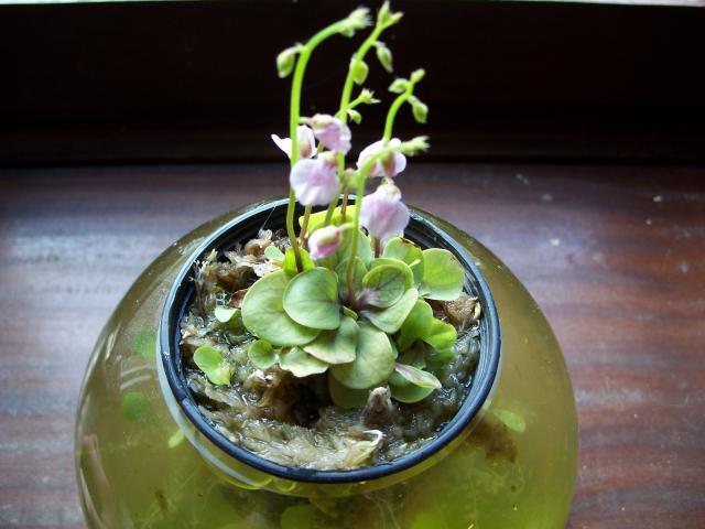 fleur utricularia calycifida 930879100_1207