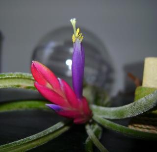 Floraison de tillandsia caput medusae 932934DSC08968_bis