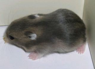Hamster russe 942171Capture05