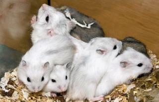 Hamster russe 9681641