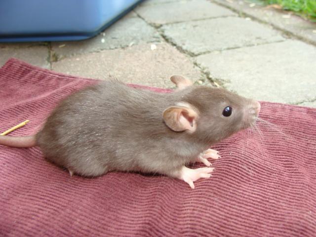 [Belgique-Morialmé]18 rats de sauvetage à adopter 983758DSC02835
