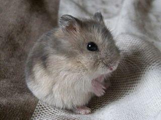 Hamster russe 9884961