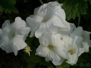 le début , des changement dans un jardin, (suivi 2009 de christelle) Mini_502197PICT0800