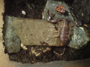 euscorpius flavicaudis Mini_598572DSC00382