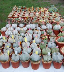 alba la romaine 2009 expo cactus et plantes rares Mini_616305DSC_0025_PhotoRedukto