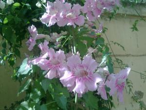 Le jardin de.....papy Mini_6952991_tecoma