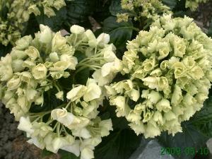 le début , des changement dans un jardin, (suivi 2009 de christelle) Mini_898426PICT0819