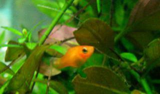 Xiphophorus helleri 171832