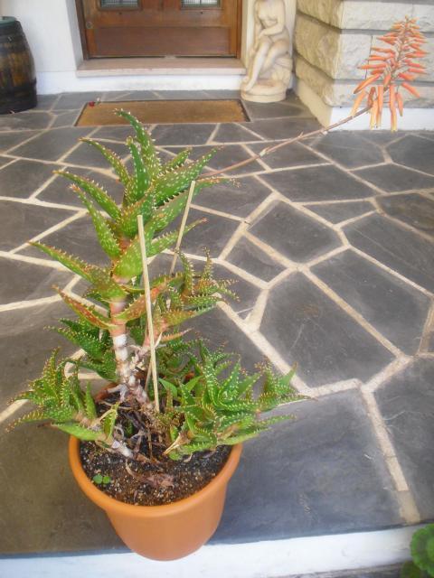 [ Aloe 'Delrue' ] aloe 172717cactus_003_1