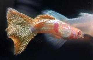 Poecilia reticulata 186429b02