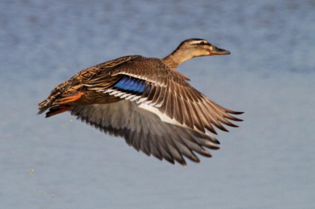 Parc ornithologique du Marquenterre 221551Marquenterre_Avril_2010_RAW_383_DxO_raw__800x600_
