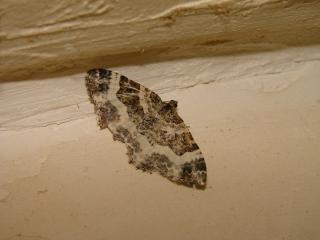 le déffilé des chenilles et des papillons 225770photos_405