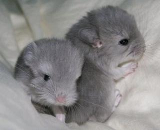 Chinchilla 3005169
