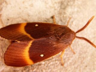 le déffilé des chenilles et des papillons 308526papnuit3