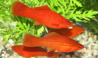Xiphophorus helleri 3245764