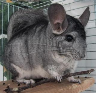 Chinchilla 3511741b