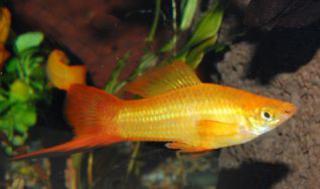 Xiphophorus helleri 3707251